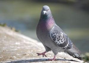 La ville de Paris - Pigeon